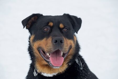 Cute rottweiler puppy isolated on a white background. Pet animals. Purebred dog.