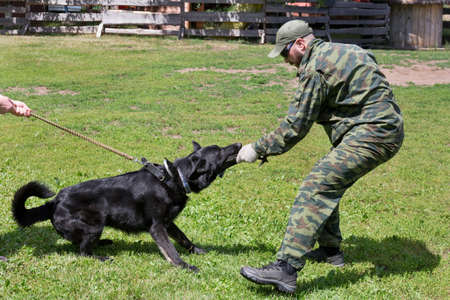 Russia, Izhevsk - June 14, 2020: Training a black german shepherd dog in cynological club. Attack demonstration. Dog training course.