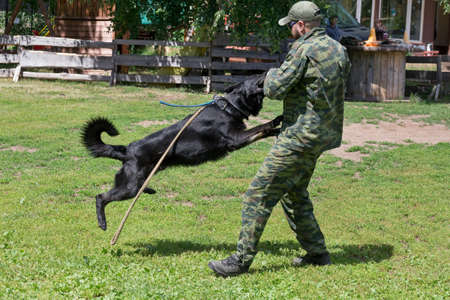 Russia, Izhevsk - June 14, 2020: Training a police dog in cynological club. Testing the skills of attacking the intruder. Dog training course. Éditoriale
