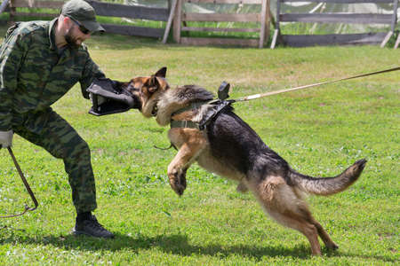 Russia, Izhevsk - June 14, 2020: Training a german shepherd dog in cynological club. Attack demonstration. Dog training course.