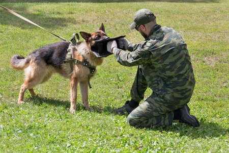 Russia, Izhevsk - June 14, 2020: Training a police dog in cynological club. The moment of attack on the ground. Dog training course. Éditoriale