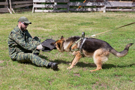 Russia, Izhevsk - June 14, 2020: Training a german shepherd dog in cynological club. The moment of attack on the ground. Dog training course.