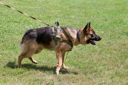 Cute german shepherd dog puppy is standing on a green grass in the park.