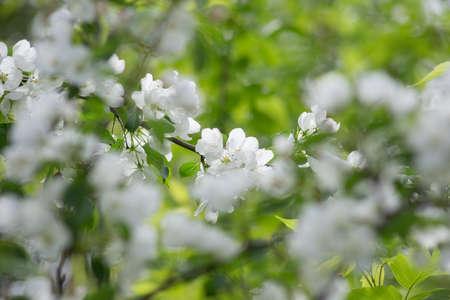 Beautiful white flowers on tree