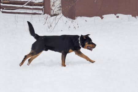 Cute rottweiler puppy is running on a white snow in the winter park. Pet animals. Purebred dog.