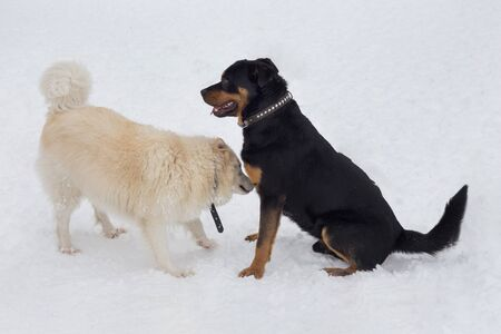 Rottweiler puppy and multibred dog are playing on a white snow in the winter park. Pet animals. Purebred dog. Banque d'images