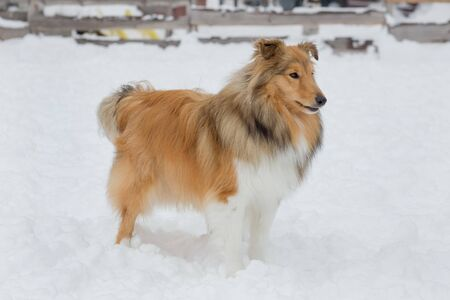 Cute scotch collie is standing on a white snow in the winter park. Pet animals. Purebred dog. Banque d'images