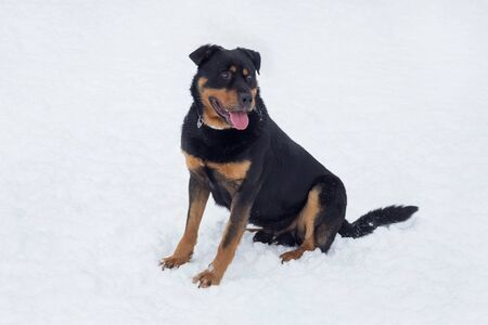 Cute rottweiler puppy is sitting on a white snow in the winter park. Pet animals. Purebred dog.