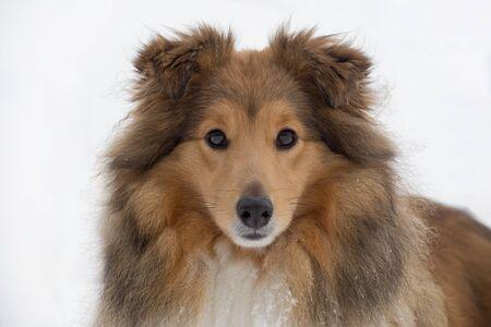 Portrait of cute scotch collie close up. Pet animals. Purebred dog.