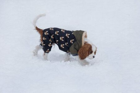Cute cavalier king charles spaniel puppy is walking on a white snow on the winter park. Pet animals. Purebred dog.