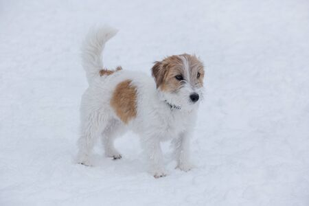 Cute jack russell terrier puppy is standing on a white snow in the winter park. Pet animals. Purebred dog.