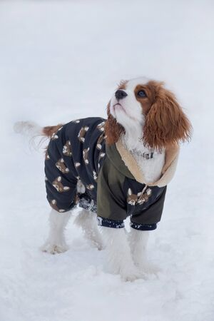 Cute cavalier king charles spaniel puppy is standing on a white snow on the winter park. Pet animals. Purebred dog.