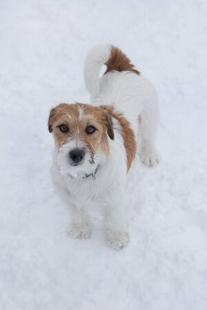 Cute jack russell terrier puppy is looking at the camera. Pet animals. Purebred dog.
