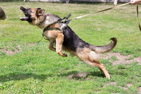Training a police dog in cynological club. German shepherd dog in action. Dog training course. Stock Photo