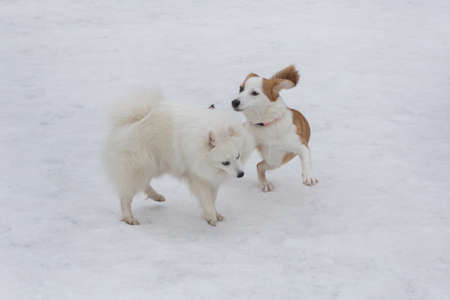 Cute japanese spitz puppy and multibred dog puppy are playing on a white snow in the winter park. Pet animals. Purebred dog.