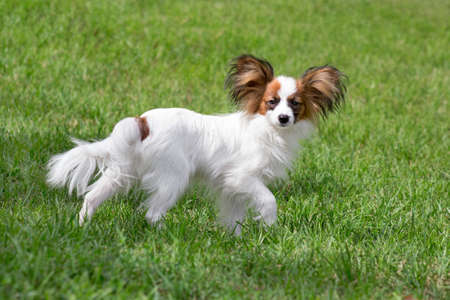 Cute papillon puppy is standing on a green grass in the summer park. Pet animals. Purebred dog.