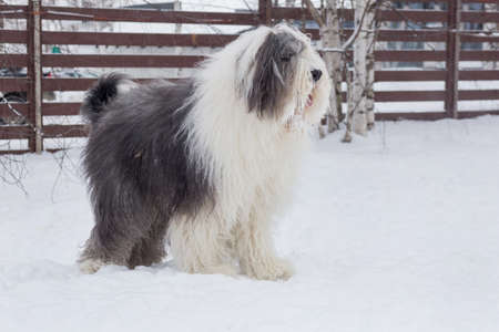 Cute bobtail sheepdog is standing on a white snow in the winter park. Pet animals. Purebred dog.