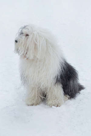 Cute bobtail sheepdog is sitting on a white snow in the winter park. Pet animals. Purebred dog.