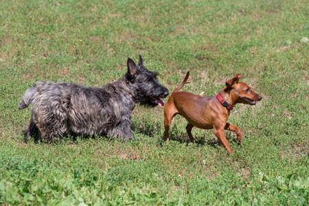 Cute scottish terrier puppy and miniature pinscher puppy are playing on a green grass in the summer park. Pet animals. Purebred dog. Stock Photo