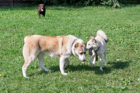 West siberian laika puppy and asian shepherd dog puppy are standing in the summer park. Pet animals. Purebred dog. Foto de archivo