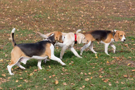 Two cute english beagle puppies and labrador retriever puppy are walking in the autumn park. Pet animals.