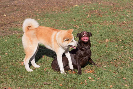 Labrador retriever puppy and akita inu puppy are playing in the autumn park.