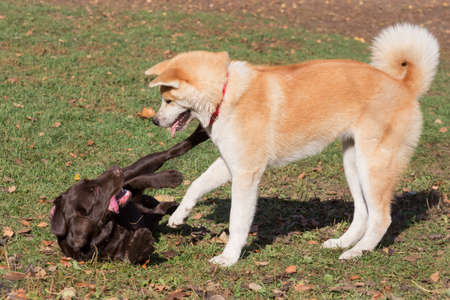 Cute labrador retriever puppy and akita inu puppy are playing in the autumn park.