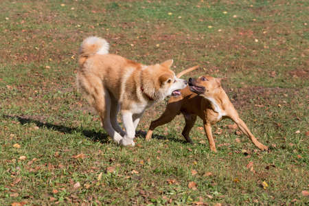 Cute american pit bull terrier puppy and akita inu puppy are playing in the autumn park.