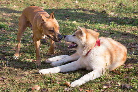 American pit bull terrier puppy and akita inu puppy are playing in the autumn park.