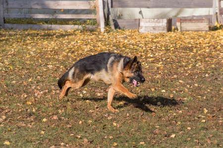 Cute german shepherd dog puppy is running in the autumn park. Pet animals. Purebred dog. Standard-Bild