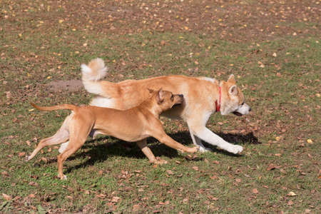 Cute american pit bull terrier puppy and akita inu puppy are running in the autumn park. Pet animals. Purebred dog.