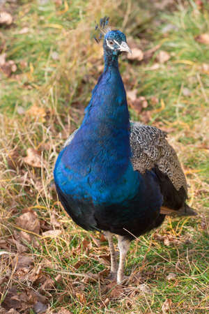 Indian peafowl or pavo cristatus is standing on a autumn meadow. Beautiful male peacock in bright blue colors. Animals in wildlife. Standard-Bild