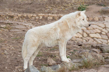 Wild alaskan tundra wolf is standing on the gray rocks. Canis lupus arctos. Polar wolf or white wolf. Animals in wildlife.