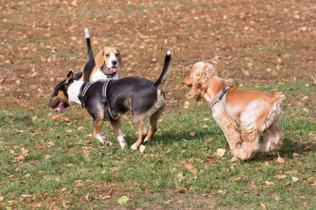 Cute cavalier king charles spaniel puppy, english beagle puppy and miniature bull terrier are playing in the autumn park. Pet animals. Purebred dog. Standard-Bild