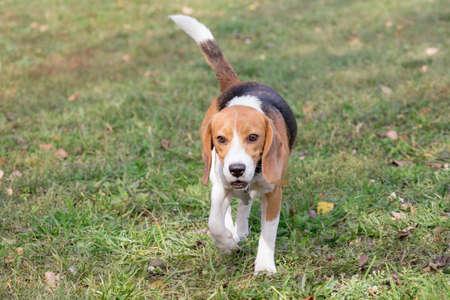 Cute english beagle puppy is walking in the autumn park. Pet animals. Purebred dog. Standard-Bild