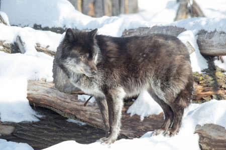 Black canadian wolf is standing on a white snow. Canis lupus pambasileus. Animals in wildlife.