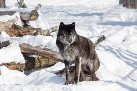 Wild black canadian wolf is standing on a white snow. Canis lupus pambasileus. Animals in wildlife. 版權商用圖片