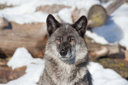 Portrait of black canadian wolf is standing on a white snow. Close up. Canis lupus pambasileus. Animals in wildlife. 版權商用圖片