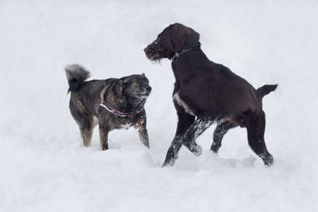 Cute deutsch drahthaar and multibred dog are playing on a white snow in the winter park. Pet animals. Purebred dog. 版權商用圖片