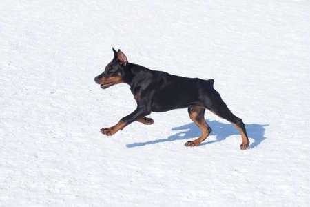 Doberman pinscher puppy is running on a white snow in the winter park. Three month old. Pet animals.