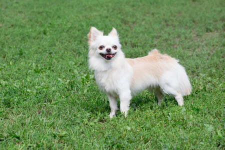 Long-haired chihuahua puppy is standing on a green grass in the summer park. Pet animals.
