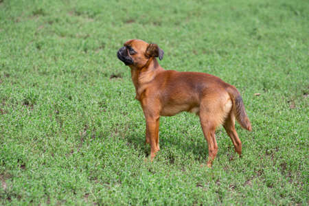 Cute petit brabancon puppy is standing on a green grass in the summer park. Pet animals.