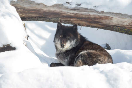 Black canadian wolf is looking at the camera. Canis lupus pambasileus. 版權商用圖片