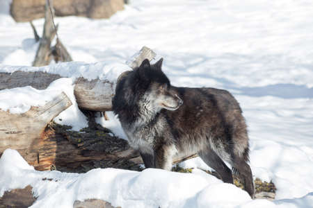 Wild black canadian wolf is standing on a white snow. Canis lupus pambasileus.