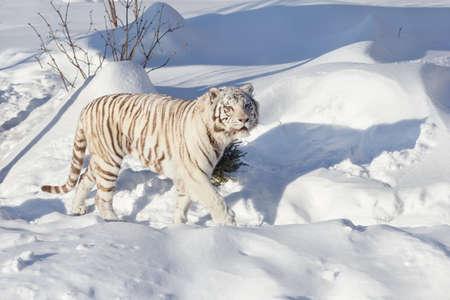 Wild white bengal tiger is walking on a white snow. Panthera tigris tigris.