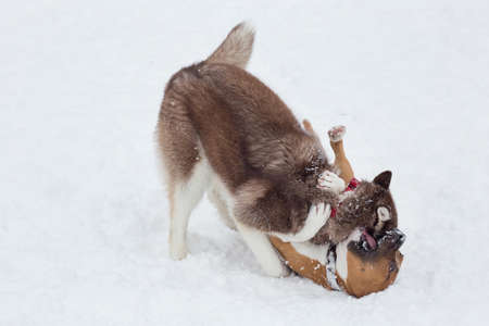 American staffordshire terrier puppy and siberian husky puppy are playing on a white snow in the winter park. Pet animals.