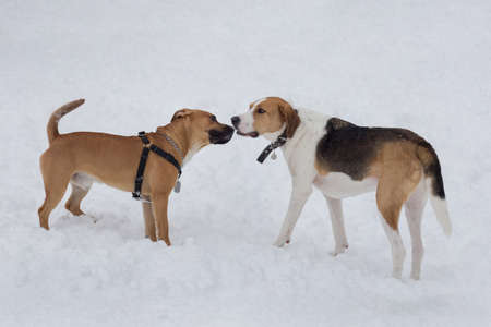 Russian hound and american pit bull terrier puppy are standing on a white snow in the winter park. Pet animals. 版權商用圖片
