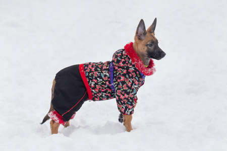 Belgian sheepdog puppy is standing on a white snow in the winter park. Pet animals.