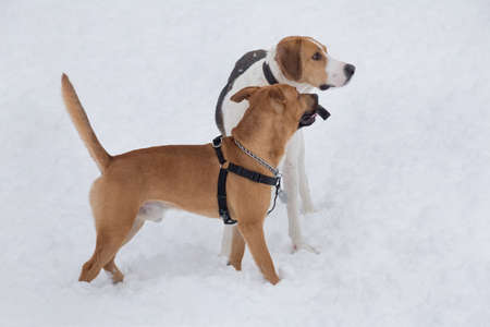 Cute american pit bull terrier puppy and russian hound are standing on a white snow in the winter park. Pet animals.