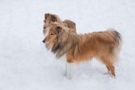 Two cute scotch collie are standing on a white snow in the winter park. Pet animals.
